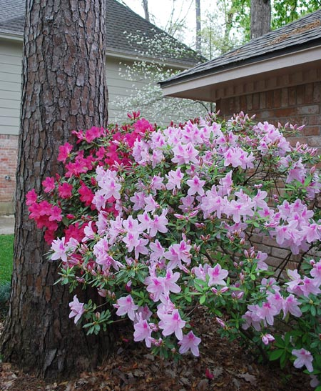 azaleas2 New House Surprise