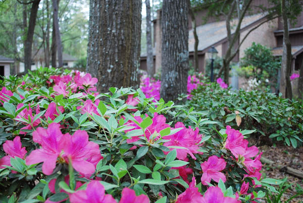 azaleas4 New House Surprise