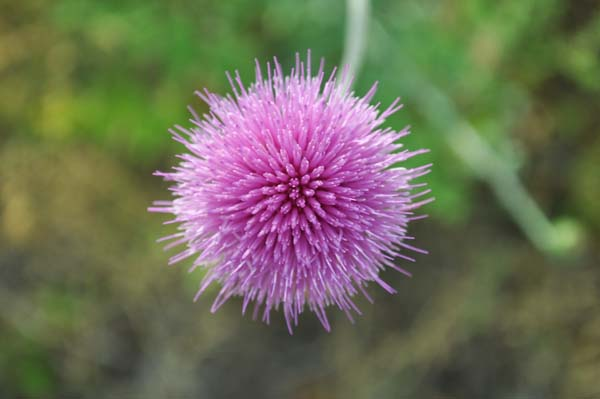 thistle Flowers and Life