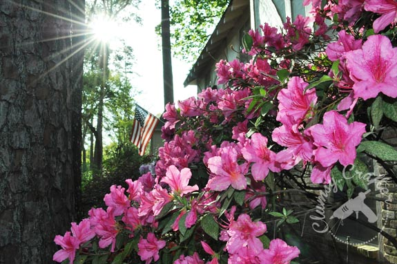 Azaleas and America Flag via ClumsyCrafter