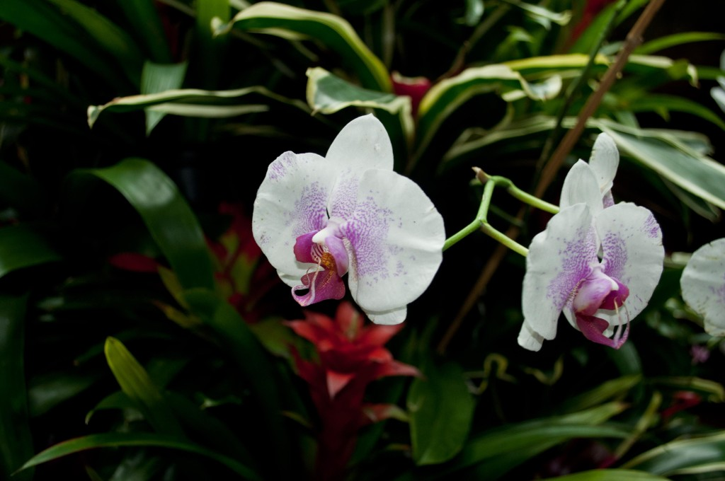 Orchids at Moody Gardens