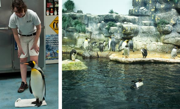 Penguins at Moody Gardens