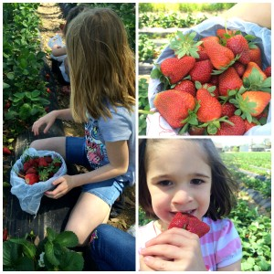 strawberry picking 4.jpg