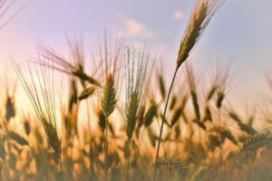The Simple Story Of A Wheat Harvest That Changed A Life