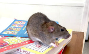 Rats as Pets – Are Rats a Good Pet for Kids?