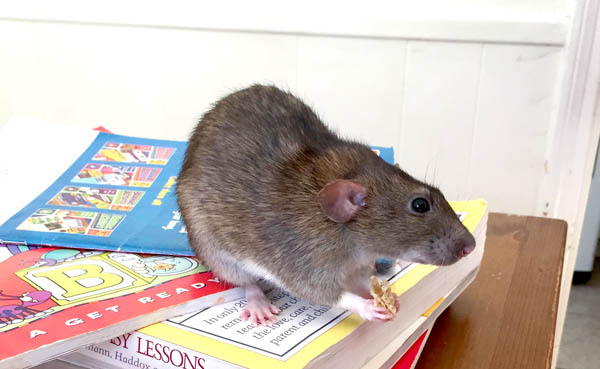 are rats a good pet for kids?